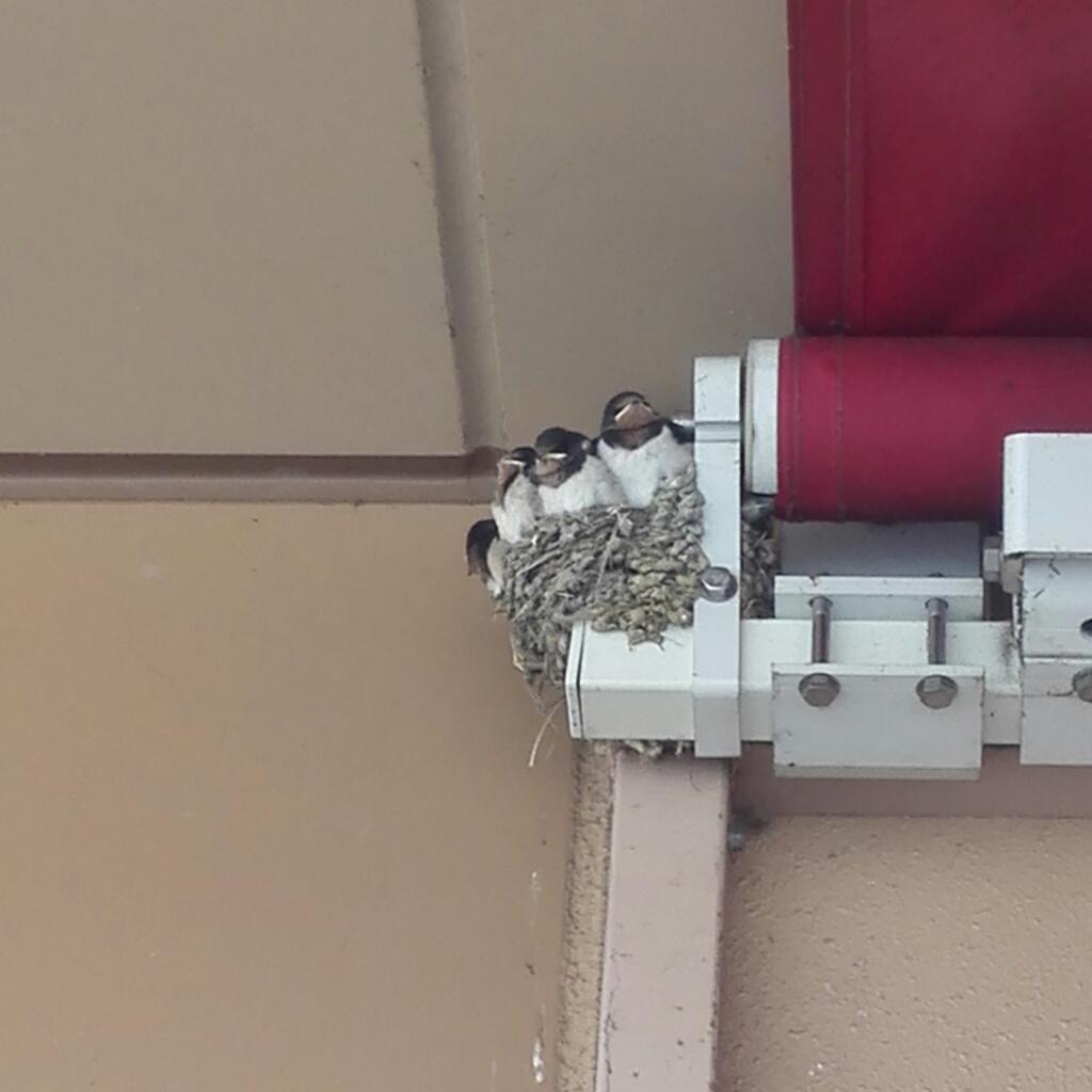 定期的に親鳥が餌をやりにきて、ヒナたちの大合唱が聞けます